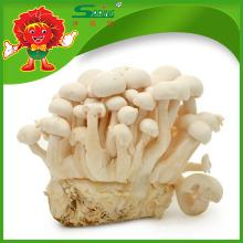 Organic Cultivated Mushroom gesund Jade weiß Pilz