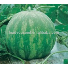 W09 Huapi grande taille graines de pastèque sans pépins de bonne qualité, graines pour la plantation