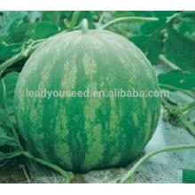 W09 Huapi tamanho grande boa qualidade sem sementes sementes de melancia, sementes para o plantio