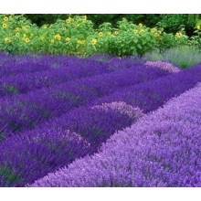 100% reines natürliches Lavendelöl