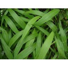 Hot Sale Fábrica de Abastecimento Diretamente 100% Natural Lophatherum Herb PE