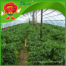 China green chilli manufacturer