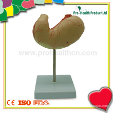 Anatomia Médica Modelo de Estômago Humano