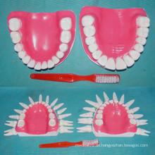 Menschliches Normales 28 Zähne Modell für medizinische Demonstration