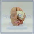 PNT-1632 2017 most popular plastic anatomy head model with brain and blood vessel for medical use