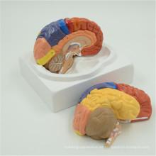Buenos comentarios modelos cerebrales de plástico baratos