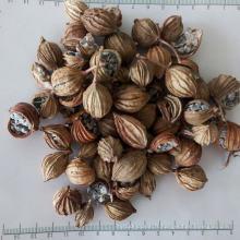 Amomi Fructus naturel de haute qualité
