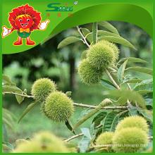 Chinês castanhas alta montanha plantação tipo natural frutas vermelhas castanhas