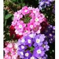 Chinese Beautiful Verbena Flower