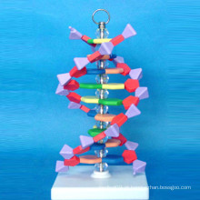 Modelo de microestrutura ampliada de ADN europeu para ensino (R180106)