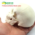 SKULL08 (12334) Mini Skull Model with Artistic value, Hand Play Model, Precise Anatomical Skull Model for Medical Science
