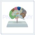 PNT-06121 original Plastic Brain para la escuela