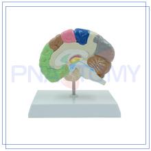 PNT-06121 Salud médica modelo de medio cerebro humano para la escuela