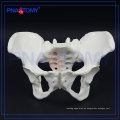 PNT-0112 modelo de hueso de pelvis femenina para el hospital