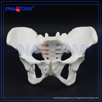 PNT-0112 modelo de osso da pelve feminina para hospital