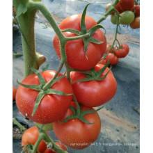 RT50 Cunhuo bactérienne résistant à la flétrissure hybride meilleures tomates à vendre avec un rendement élevé