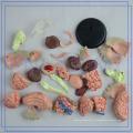 PNT-0613 4d modèle de cerveau anatomique