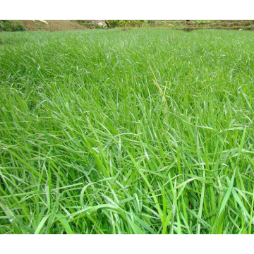 Bulk ryegrass seed for planting