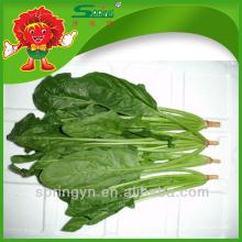 Fournisseur de Chine Grandes marques d'épinards fraîches