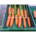 Suntoday híbrido vegetal sortido científica de nomes para plantar mudas de vegetais orgânicos comprar venda de sementes de cenoura on-line (51003)
