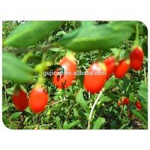 Las bayas de Goji siembran el wolfberry chino, el chino de Lycium para crecer con la germinación alta, el goji secado