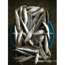 Gefrorene Sardine Meeresfrüchte Fisch für Köder