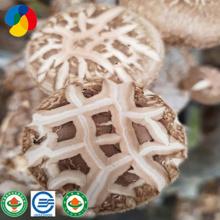 High Quality Shiitake Mushroom Spawn Grow Bag