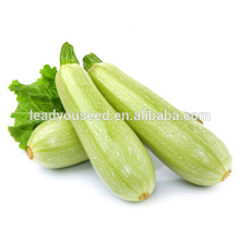 MSQ051 Bailv high yield zucchini seeds, hybrid squash seeds for sales