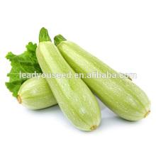 MSQ051 Bailv высокой урожайности семена цуккини гибридные семена сквош для продажи