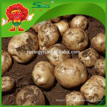 Chinesische gelbe holland potato