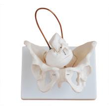 PELVIS08 (12345) Pelvis de demostración de parto en ciencia médica, modelo anatómico de pelvis femenina para estudio de nacimiento