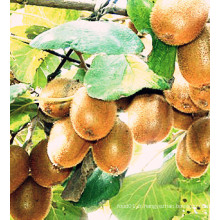 Meilleures ventes d'exportation de cultures Bonne qualité Kiwi frais