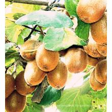 Best-Selling Nueva exportación de cultivos de buena calidad Kiwi fresca