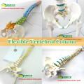 Medizinische Modelle Plastic Human Wirbelsäule Modell für Osteologie Chiropraktik-Studie