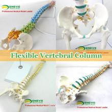 Modelo médico de la espina dorsal de los modelos médicos modelo para el estudio quiropráctico de la osteología