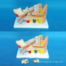 Ear Anatomical Demonstration Model for Medical Teaching (R070103)
