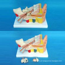 Modelo de demonstração anatômica de orelha para ensino médico (R070103)