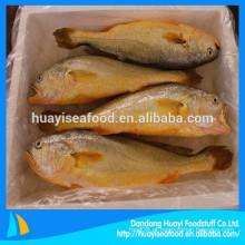 Peixe Croaker Amarelo Congelado Pseudosciaena Crocea