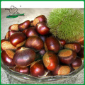 China chestnut /New crop dandong chestnut/Chestnut from China origin