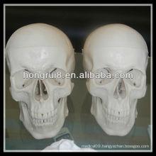 ISO Deluxe Life-Size Human Skull Model