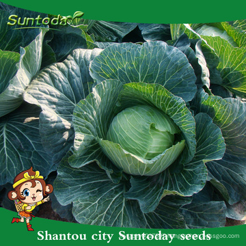 Suntoday vegetable F1 grow chinese cabbage assorted flat round high times fresh vegetable hybrid seeds for sale (31001)