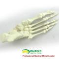 TF12 (12323) Modèle orthopédique de grand pied gauche d'anatomie normale de mousse solide
