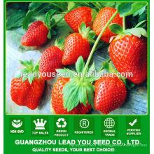 JSB01 Rose queen semillas de fresa para la venta, semillas de fresa