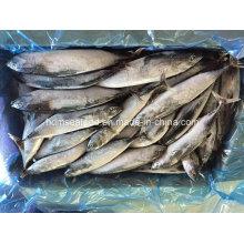 Frozen Fish Bonito Size