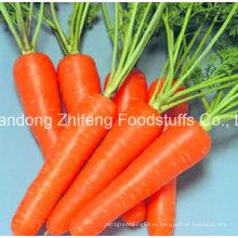 Высокое качество свежая морковь для экспорта