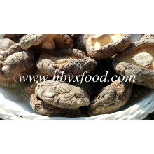 Classer un champignon Shiitake séché naturel