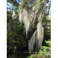 Tillandsia Usneoides Травяной порошок от Kingherbs