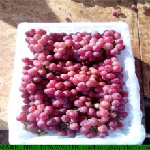Grapes all varieties (Superior, Flame, Crimson, Red Globe)