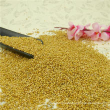 High purity yellow millet in husk