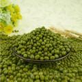 Unterschiedliche Größe der grünen Mungobohnen, Ernte 2012